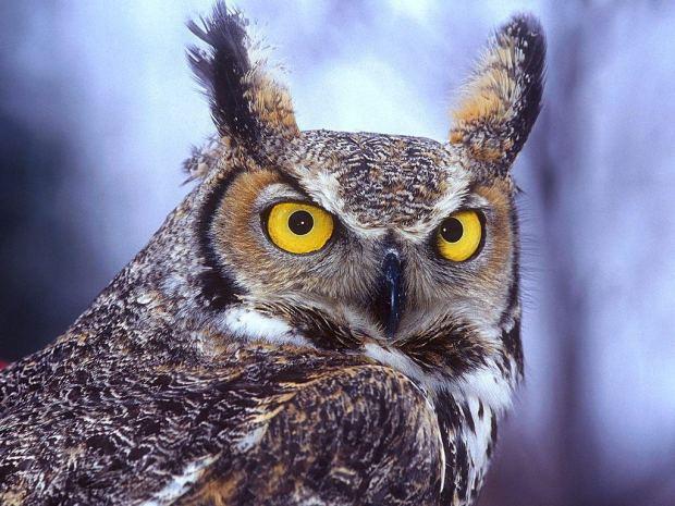Owl wiht Horns